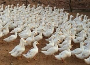 كوريا الجنوبية تؤكد ظهور فيروس أنفلونزا الطيور في مزرعة للبط