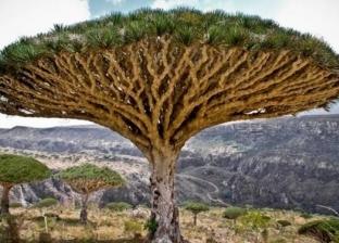 """""""الراتنج"""" أغلى شجرة في العالم.. الكيلو بـ10 آلاف دولار"""