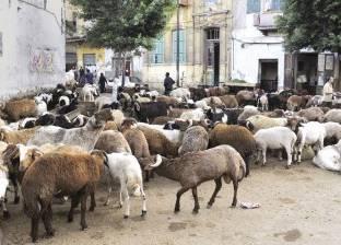 تجار سوق الأغنام بـ«السيدة» يترحمون على مكاسب موسم «الأضحى»: «٦٠ جنيه للكيلو ومفيش زباين»