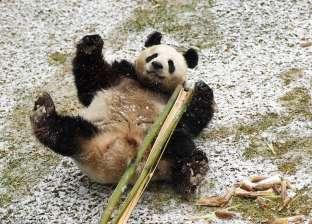 بالفيديو| الباندا تواجه خطر الانقراض من جديد