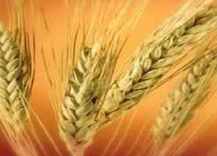"""""""الزراعة الروسية"""": مصر لا يمكنها الاستغناء بشكل كامل عن القمح الروسي"""