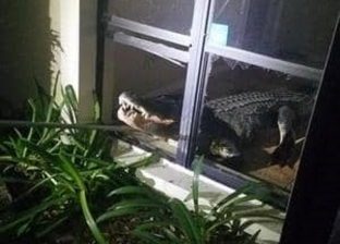 بالصور.. تمساح ضخم يقتحم أحد المنازل من خلال نافذة أرضية