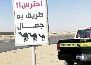 «احترس.. الطريق به جِمَال».. إرشادات لتقليل الحوادث بسيناء