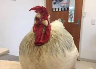 """محاولات لإعادة """"الأنوثة"""" لدجاجة بعد ارتفاع معدلات الـ""""تستيرون"""""""