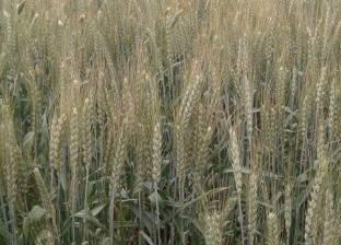 شبكة أمريكية: القمح يقفز إلى أعلى مستوى بسبب الشحنات المصرية