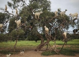 بالفيديو| إجبار الماعز على تسلق الأشجار لجذب السياح في المغرب