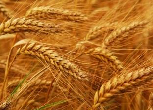 رئيس قسم بحوث القمح بسخا: مرض الصدأ ليس مفزعا