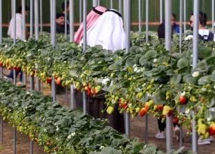 تفاصيل رفع الحظر السعودي على صادرات مصر من الفلفل والفراولة