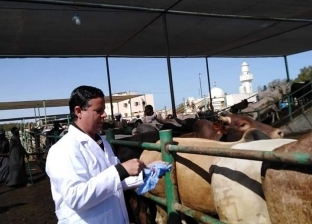 """بيطري البحر الأحمر"": تحصين 1500 عجل سوداني قبل ذبحها"