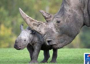 بعد نجاح تجربة إنقاذ وحيد القرن.. أبرز الحيوانات المهددة بالانقراض