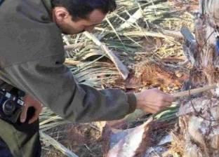 """""""الزراعة"""" تحذر من تقليم أشجار النخيل للوقاية من سوسة النخيل"""