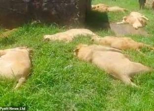 رغم وجودها داخل محمية.. صيادو جنوب أفريقيا يقتلون الأسود من أجل السحر