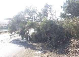 رئيس حي جنوب الجيزة يوجه بإزالة شجرة معمرة سقطت بشارع مراد