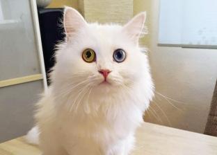 «مينى».. من «مشردة» فى شوارع بورسعيد لـ«ملكة جمال قطط ألمانيا»