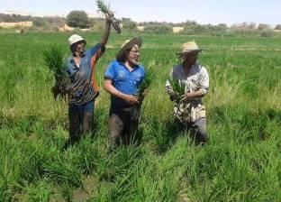 """""""الإحصاء"""": 10.2% زيادة في إنتاج محصول الأرز خلال 2016"""