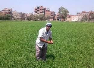 """وكيل وزارة الزراعة بالقليوبية: 210 مخالفات """"زراعة أرز"""""""