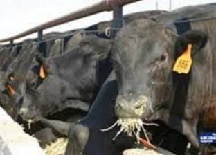 """""""الزراعة"""": مشروع البتلو يساعد في انخفاض أسعار اللحوم الحمراء"""