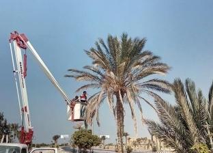 بالصور| حملة لتقليم أشجار النخيل بمداخل وشوارع مدينة رأس سدر