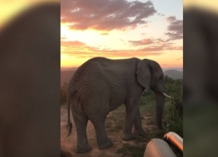 بالفيديو| فيل ضخم يعترض طريق سائحة نرويجية في تجربة مرعبة في إفريقيا