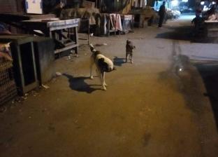 بالصور| حملة للتخلص من الكلاب الضالة بحي الجمرك في الإسكندرية