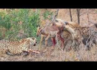 بالفيديو| مشهد قاس من الطبيعة.. فهود وضباع تنهش ظبية حية