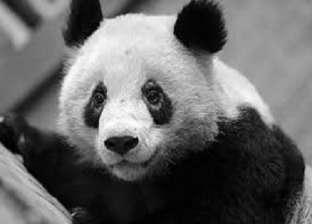 بالصور| مرض غامض يزيل البقع السوداء حول عين الباندا في الصين