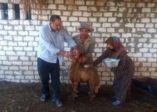 """استمرار حملات تحصين الماشية ضد """"جدري الأبقار"""" بمغاغة في المنيا"""