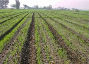 «قمح المصاطب».. 30% زيادة فى إنتاج الفدان وخفض كبير فى المياه وتكاليف الزراعة