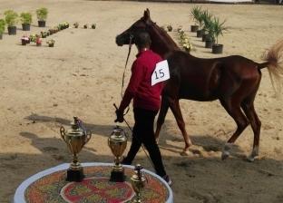 بالصور| انطلاق فعاليات اليوم الأول لمهرجان الخيول العربية بشبين الكوم