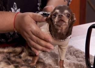 أصغر كلب في العالم مطلوب أمام المحكمة