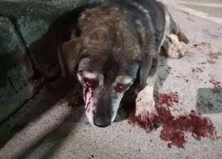 حقيقة كلب اقتعلت عيناه في مصر والأردن.. وصدمته سيارة في رومانيا