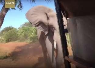 بالفيديو| قطيع من الفيلة يهاجم سيارة سياح في رحلة سفاري