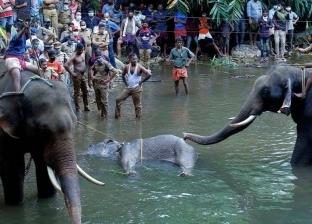 القبض على المتهم بقتل أنثى فيل في الهند بالمفرقعات
