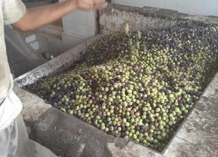 خبير زراعي: محصول الزيتون مستقبل الاستثمار بالأراضي الجديدة