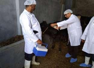 تحصين 240 ألف رأس ماشية ضد الحمى القلاعية بالغربية