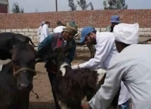 محافظ الدقهلية: تحصين 275 ألف رأس ماشية