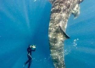 """بالصور  """"القرش الحوتي"""" يعاود الظهور بالغردقة.. وتحذيرات من محاولة صيده"""
