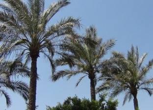 """""""الزراعة"""" تصدر توصيات فنية للتعامل مع أشجار النخيل خلال يونيو المقبل"""