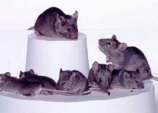 """تبرئة الفئران من أكل نصف طن """"ماريجوانا"""" بالأرجنتين"""