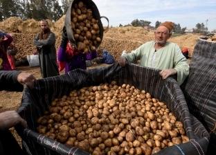 «تسونامى البطاطس» يضرب الأسواق.. وسعر الكيلو يقفز إلى 13 جنيهاً.. وتوقعات بتراجع الأسعار أواخر نوفمبر