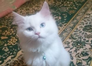 مسابقة لاختيار ملكة جمال القطط والجائزة: جلسة مساج وعناية بالشعر