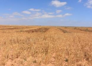 """""""زراعة جنوب سيناء"""": إجمالي المساحة المنزرعة بالقمح 1010 أفدنة"""