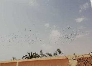 بالصور| ظهور طائر اللقلق الأبيض في سماء مدينة الطور