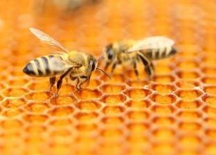 علماء يكتشفون: النحل قادر على الجمع والطرح