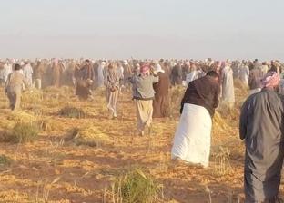 الغني قبل الفقير.. 150 شابا بالضبعة يشاركون أسر حصاد الحبوب دون أجر