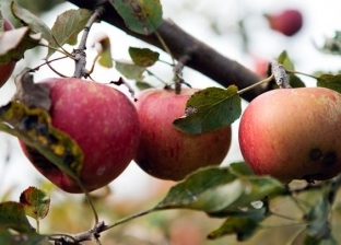"""استقرار أسعار الفاكهة في """"الجملة"""".. و""""البرتقال"""" بـ4 جنيهات"""