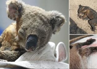 الموت الرحيم.. قتل ملايين الحيوانات المصابة بحروق بالغة في أستراليا
