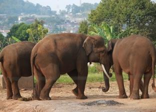أمومة الحيوانات.. أنثى فيل تعلم ابنها مواجهة الصعوبات