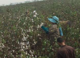 نقيب الفلاحين: زراعة القطن تقلصت ووزارة الزراعة فشلت في تسويق المحصول