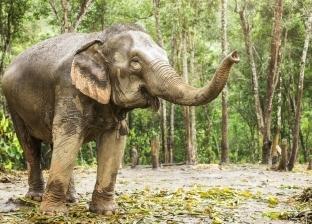 بالفيديو| فيل يطارد طفلا ويدهسه تحت أقدامه